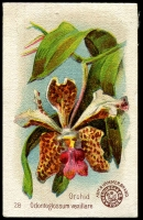 Lot 1162 [2 of 5]:Orchids: Trading Cards with Carreras cigarettes 21 of 24 plus duplicates in mixed condition, plus complete set in mostly fine/very fine condition, various other orchid cards from Arm & Hammer, Carreras & Tuckfield Teas (very fine); some duplication, condition variable. (100 approx)